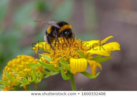 Poszméh virág közelkép zöld méh szárny Stock fotó © Discovod