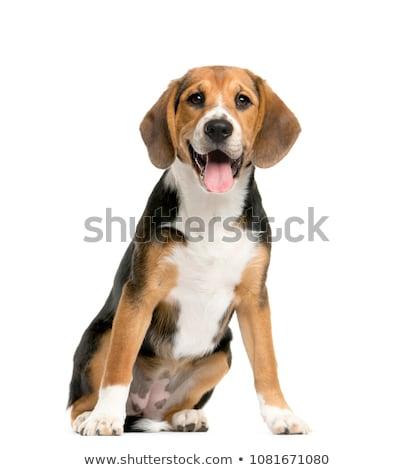 Beagle perro cute aislado blanco estudiante Foto stock © silense