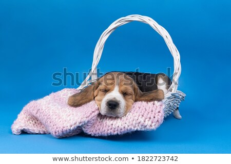 Tricolor beagle puppy sleeping Stock photo © remik44992