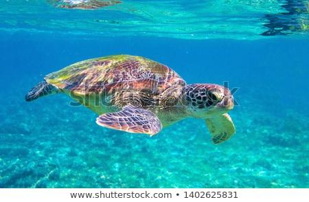 Сток-фото: черепахи · отпуск · иллюстрация · счастливым · солнце · стекла