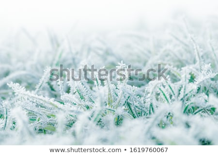 frozen grass stock photo © avq