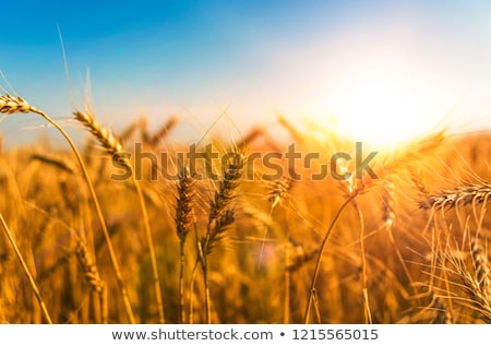 autumn landscape yellow field and blue sky stock photo © rufous