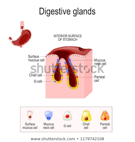 Parietal cell of stomach wall,  located in the gastric glands se Stock photo © Tefi