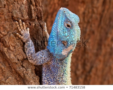Southern Tree Agama in the tree. Stock photo © simoneeman