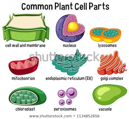 Science common plant parts Stock photo © colematt