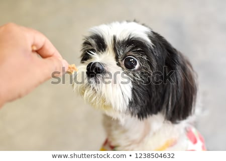 adorable black and white shih tzu looks up to side Stock photo © feedough