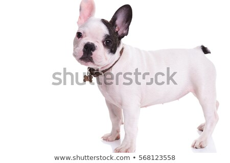 adorable french bulldog standing looks up to side stock photo © feedough