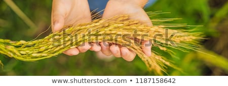 Ripe ears of rice in a child's hand. Products from rice concept. Food for children from rice. A heal Stock photo © galitskaya