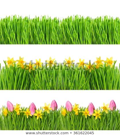 beautiful tulips with green grass stock photo © vapi
