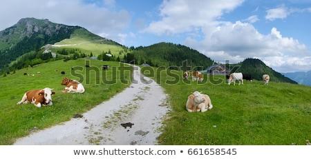 Spotted cow on a mountain pasture Stock photo © Kotenko