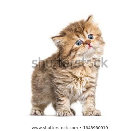 Elképesztő bolyhos brit macska kiscica egyenes Stock fotó © CatchyImages