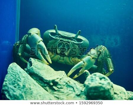 Grande roxo mar caranguejo aquário praia Foto stock © galitskaya