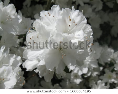 Azalea mooie roze bloemen Stockfoto © jsnover