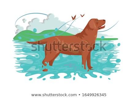 Fofo marrom labrador em pé água natureza Foto stock © jossdiim
