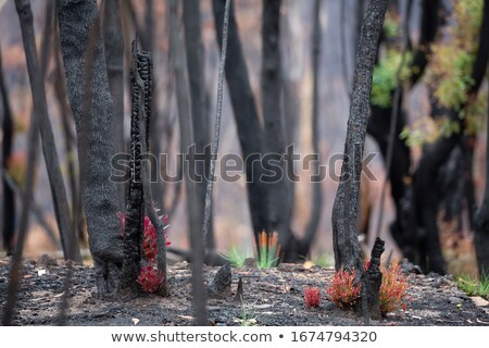 Trees and plants start to recover after bush fires in Australia Stock photo © lovleah