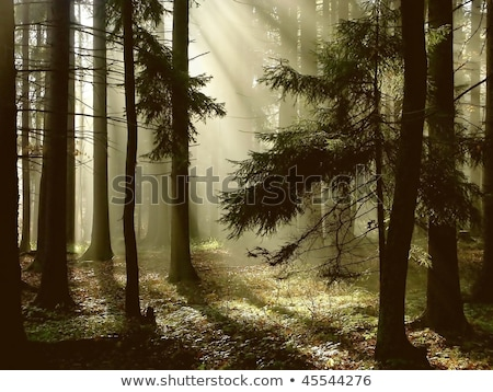 Stock fotó: Sunrise In A Foggy Forest With Light Between Trees