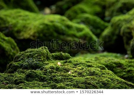 свежие мох макроса зеленый природы старые Сток-фото © sweetcrisis