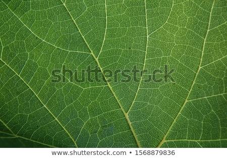 groen · blad · cel · structuur · natuurlijke · textuur · macro - stockfoto © creisinger