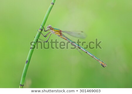 smaragd · nyár · rovar · makró · szitakötő - stock fotó © chris2766