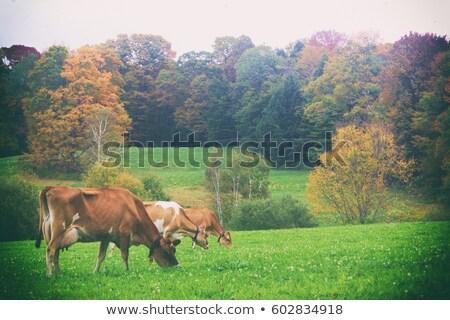 Vermont tejgazdaság tehén mező etetés fű Stock fotó © mikemcd