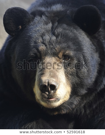 male black bear stock photo © fotomine