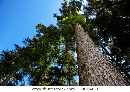 A tall conifer tree against a blue sky Stock photo © sarahdoow