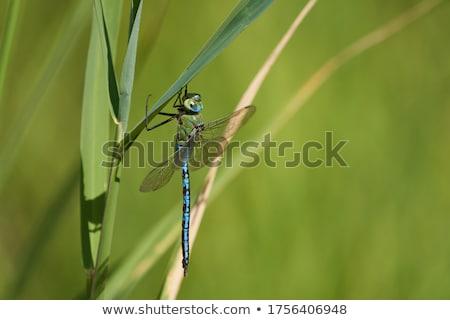 Kék szitakötő tavacska kicsi ül nap Stock fotó © thomaseder