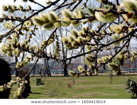 willow blossoming stock photo © lynx_aqua