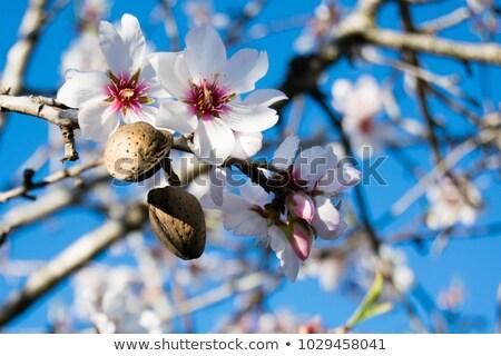 mandula · rózsaszín · ág · fa · égbolt · tavasz - stock fotó © zerbor