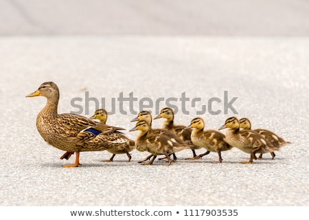 mother duck and baby ducklings stock photo © taviphoto