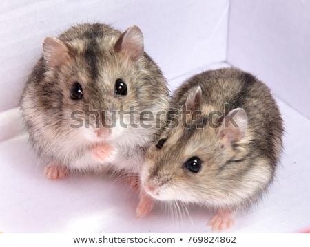 hamster · gıda · fotoğraf · karışık · kemirgen - stok fotoğraf © silense