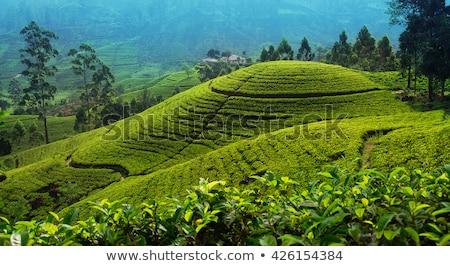 yeşil · çay · alanları · bereketli · Fuji · Dağı · manzara · kar - stok fotoğraf © meinzahn
