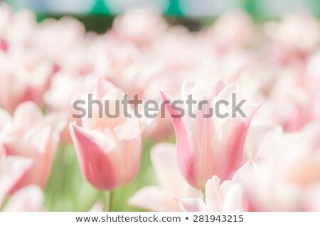 Tree pink tulips Stock photo © c-foto