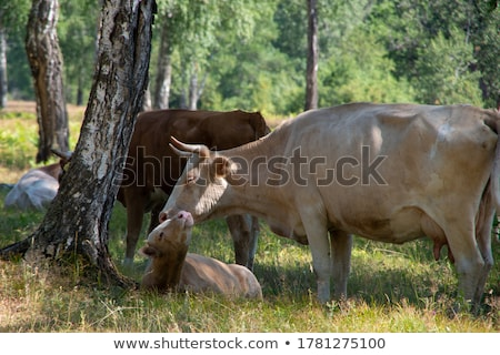 mother cow with young calf resting in a field Stock photo © meinzahn
