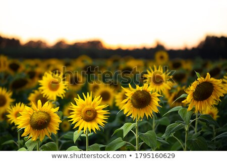 Sunflowers in early evening as sun sets Stock photo © backyardproductions
