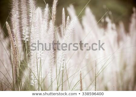 törpe · fű · klasszikus · gaz · növények · virágok - stock fotó © sweetcrisis
