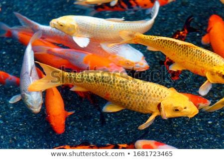 Mooie koi vis water vallen boom Stockfoto © tungphoto