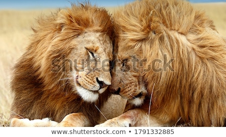 male lion smiling stock photo © achimhb