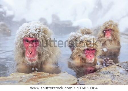hó · majom · japán · termálfürdő · park · férfi - stock fotó © vichie81