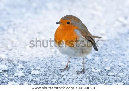 Stok fotoğraf: Christmas Winter Robin On Icy Snowy Ground