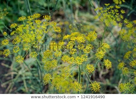 органический фенхель семени Сток-фото © ziprashantzi