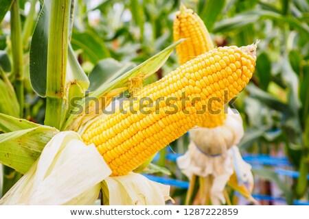 Corn cob on stalk in maize field Stock photo © stevanovicigor