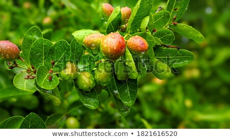 Koromcha or Carandas of Southeast Asia Stock photo © bdspn