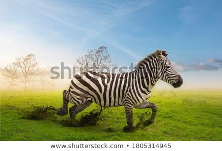 Zebra giraffe riposo erba fauna selvatica parco Foto d'archivio © morrbyte