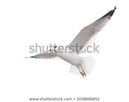 seagull flies at the coast Stock photo © meinzahn