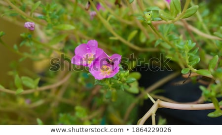 Purslane background texture Stock photo © tmainiero