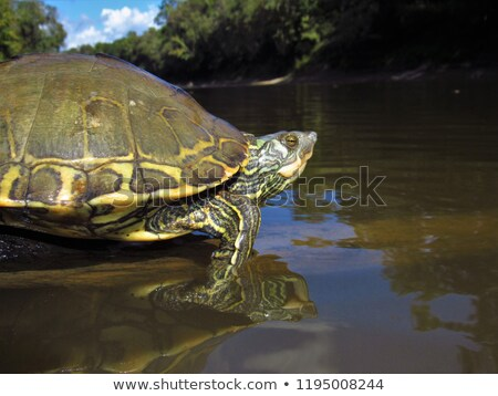 A reptile near the river Stock photo © bluering