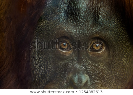 Eyes of an orangutan Stock photo © bluering