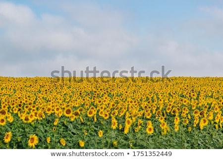 girassóis · campo · blue · sky · nuvens · céu · flor - foto stock © dmitroza