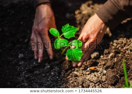 胡瓜 苗 工場 農業 野菜 土壌 ストックフォト © drobacphoto